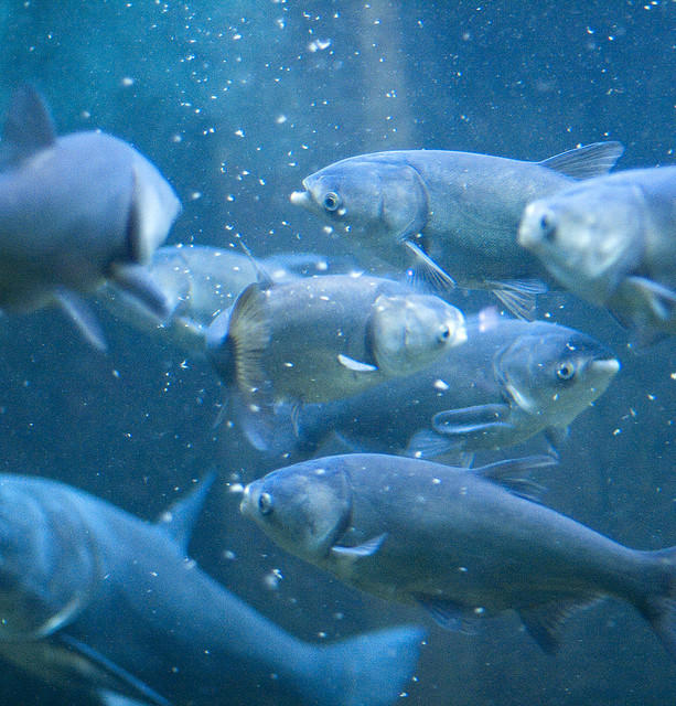 Asian carp at Chicago's Shedd Aquarium.