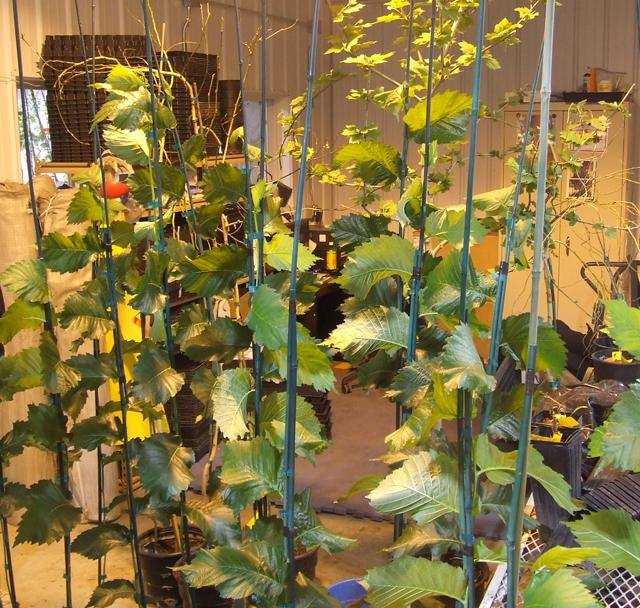 Clones of the Buckley elm - the first tree that David Milarch cloned.