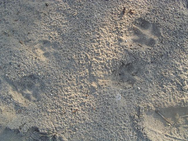 Coyote tracks in the dirt.