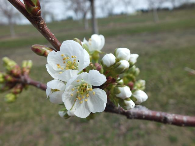 Cherry blossoms arrived early this year. To look for damage, researchers cut into the flower parts to look at four fruit buds in each blossom. Each bud is capable of forming a cherry.