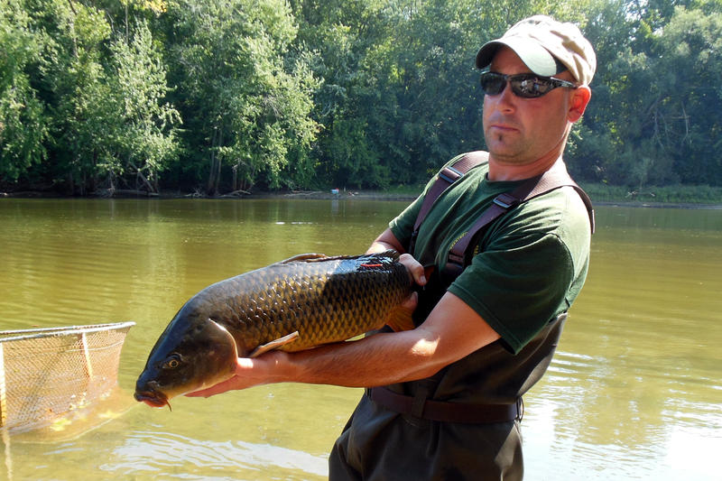 "DNR fishery technician Vince Balcer holds up one of the ""common carp"" they're catching, tagging and releasing for the drill."