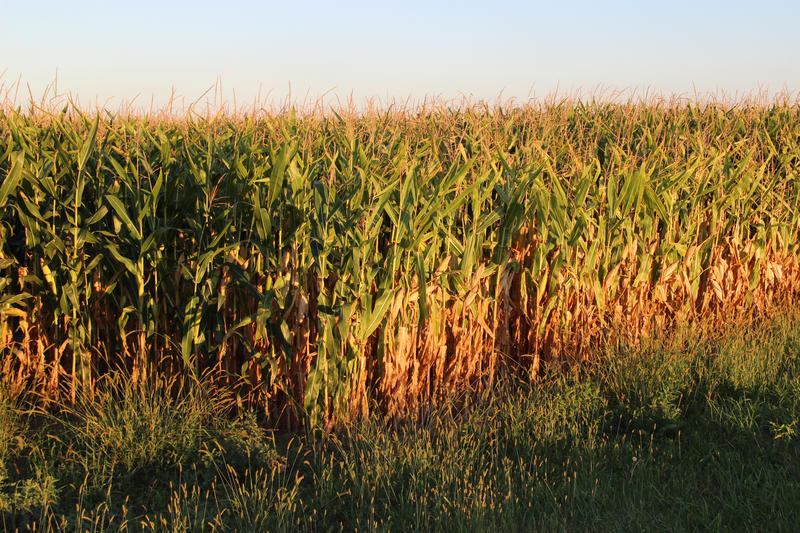 Corn nearing harvest time in northern Ohio.