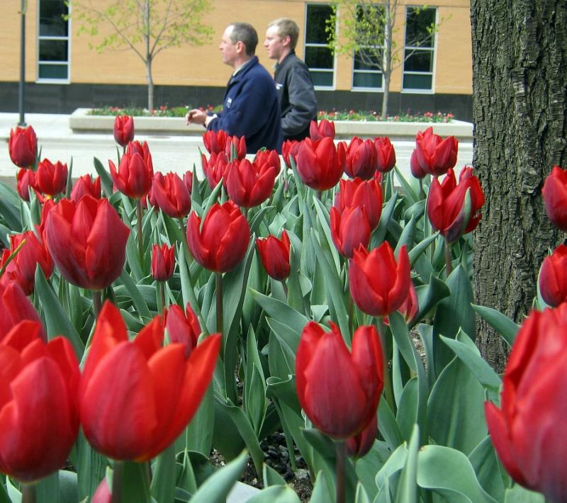Red tulips blossom in downtown Grand Rapids, about 30 miles east of Holland.