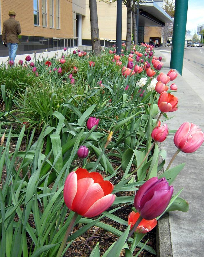 Tulips near concrete or in full sun like these are at peak bloom already in Grand Rapids.