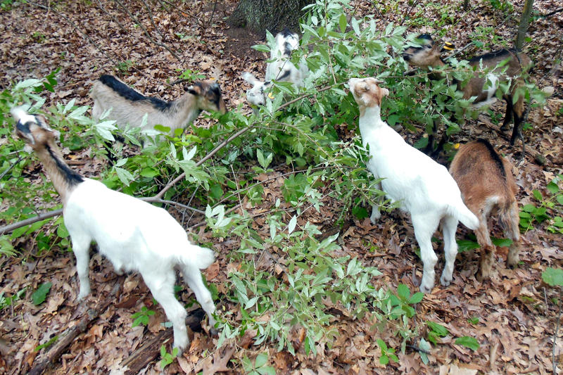 A herd of eight goats will spend its summer eating invasive plants in natural oark areas in Ottawa County.