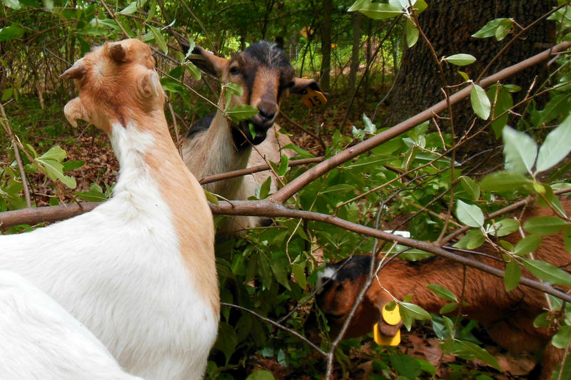 A herd of goats munches on invasive autumn olive in Ottawa County.
