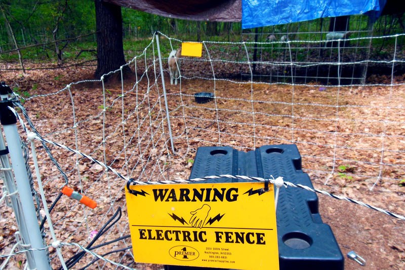 An electric fence keeps the goats from getting out and predators from getting in.