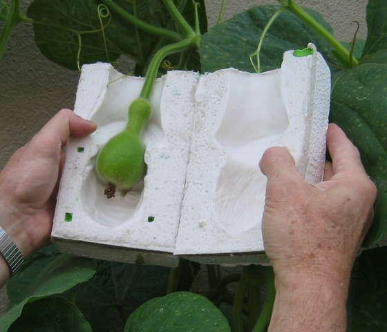 A young gourd is placed inside a plaster or rubber mold