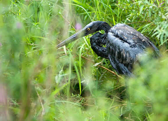 Great blue heron covered in oil from the 2010 Enbridge oil spill near Marshall, Michigan.