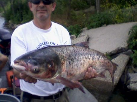 The Bighead Asian Carp found in Lake Calumet