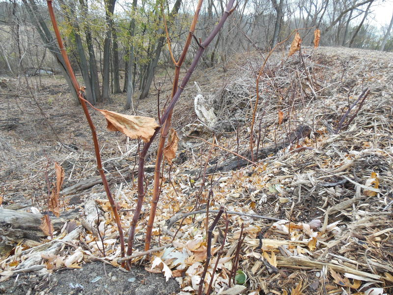 Hundreds of half-dead stalks of Japanese Knotweed poke out of the ground around the plant site. It'll take a few years to eradicate the invasive plant.