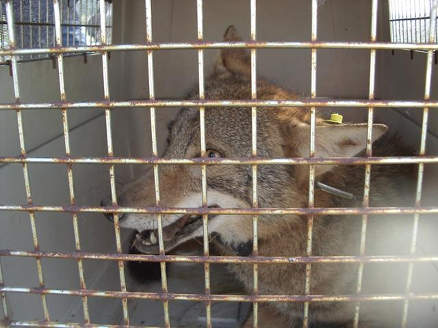 """Lance"" - as the research team has nicknamed him - after he was captured to be radio collared. Then, he was released."