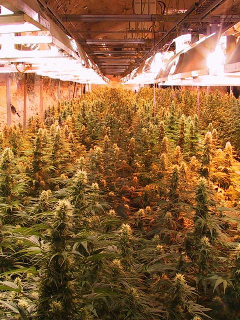 A PPS marijuana crop in Canada