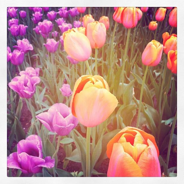 Tulip Time is one of the largest flower festivals in the United States.