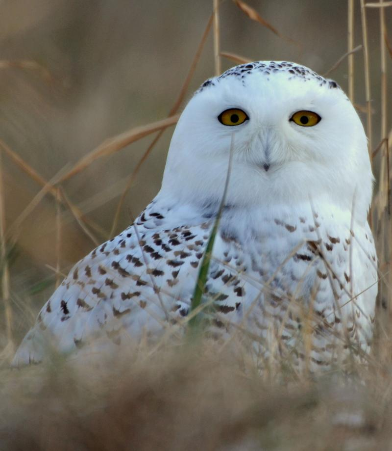 17 snowy owls have been captured so far this season at Detroit Metro Airport and Willow Run.