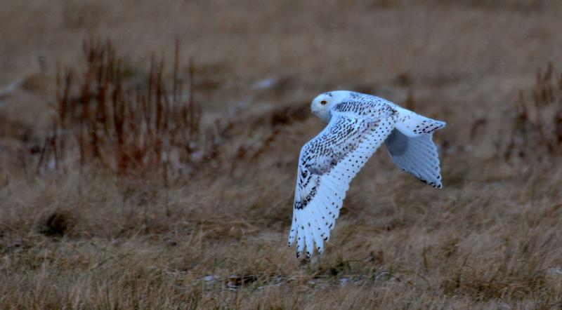 A snowy owl hunts for food near DTW.