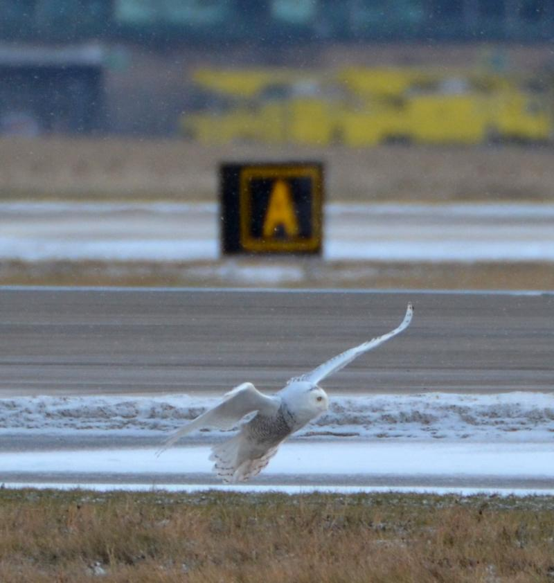 A snowy owl lands near a busy runway at Detroit Metro Airport earlier this winter.