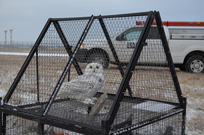 A snowy owl captured (it was later released) at DTW earlier this winter.