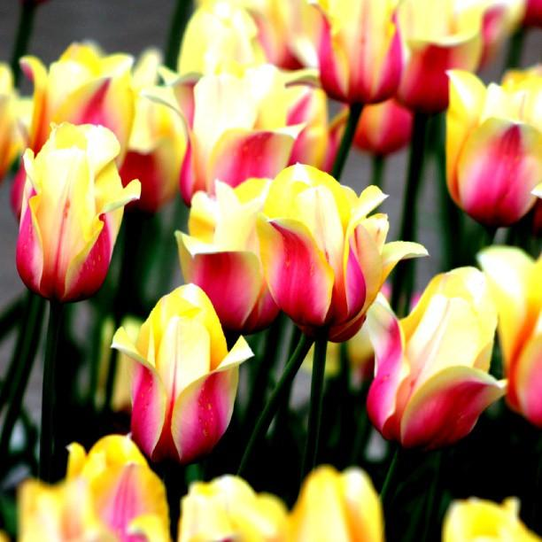 Hundreds of thousands of tulips bloom in Holland.