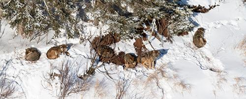 West pack. Observations made during this flight suggest that the alpha pair are the second and third wolf (from left to right). The collared wolf, who is a brother to the alpha male, is far right. The other two or three wolves are likely pups.