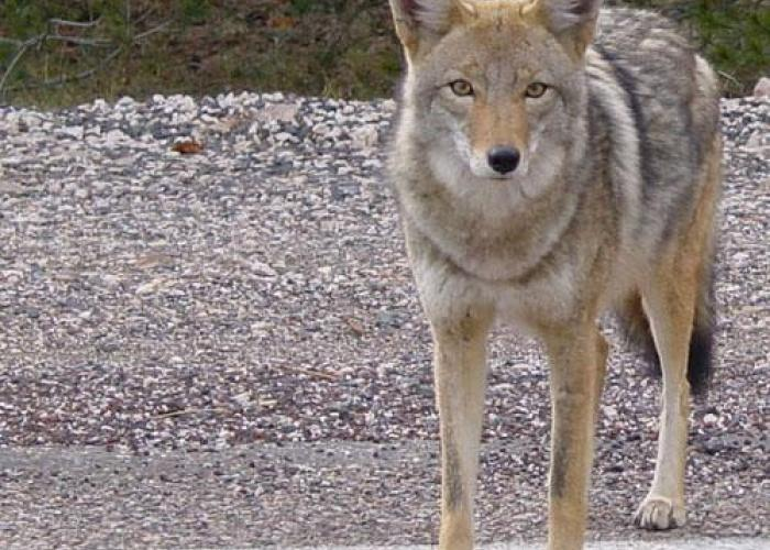 Coyotes make themselves at home in Michigan cities | Michigan Radio