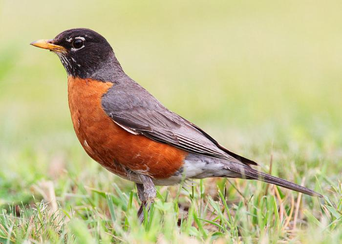 Michigan bird species threatened by climate change, report ...