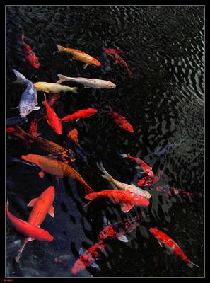 Koi herpesvirus shows up in wild michigan fish michigan for Wild koi fish