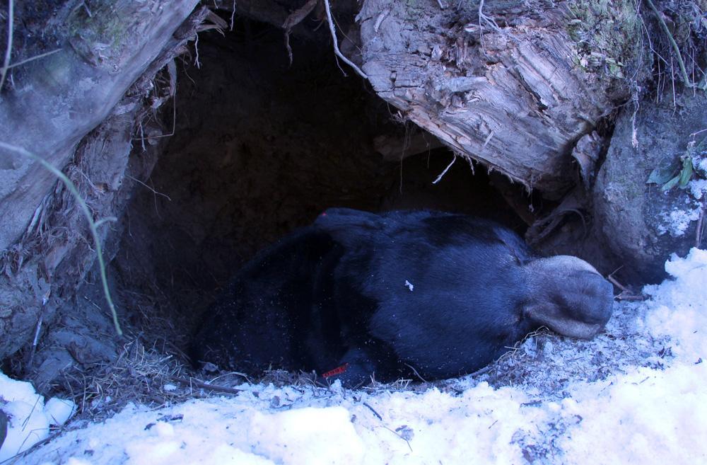 Watch Biologists Dart Hibernating Black Bear In Michigan