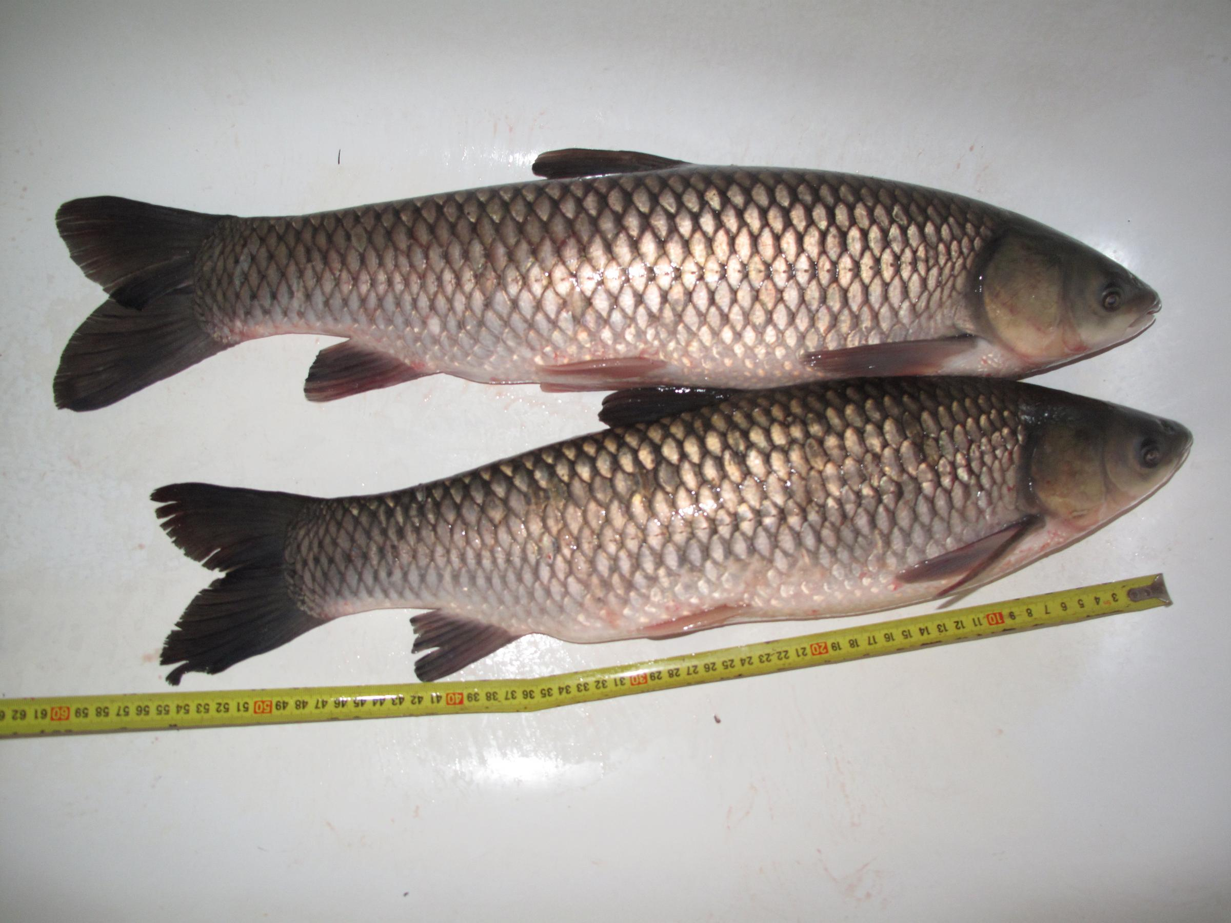 Dnr to search lake after illegal carp report michigan radio for Grass carp fish