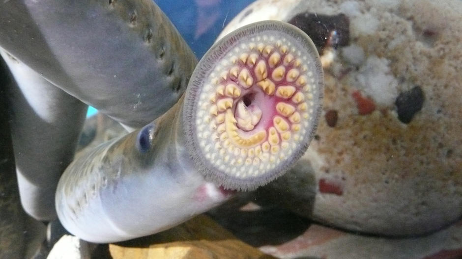 The US Government Spends Millions Of Dollars Every Year To Keep Sea Lamprey In Check