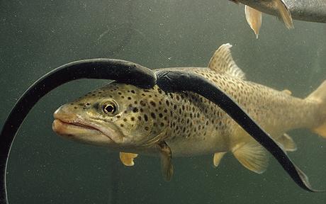 Taking Aim At The Fish Eating Sea Lamprey Michigan Radio