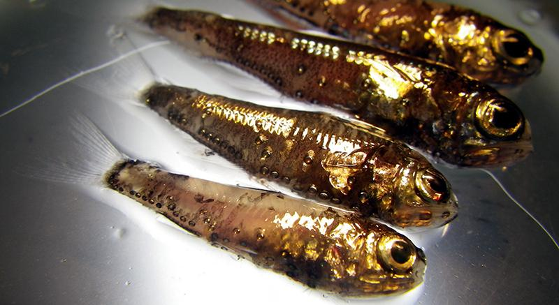 U m researchers unravel mysteries about mercury in fish for Are fish considered animals
