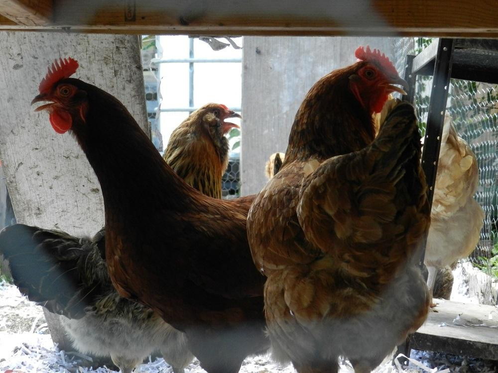 Backyard Chickens And Flies feathers fly in flint over backyard chickens | michigan radio