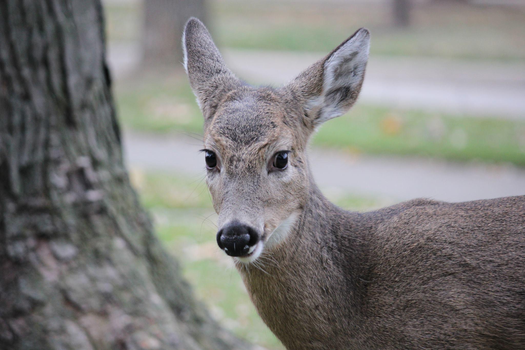 Metro Detroit community raises orphaned baby deer ...