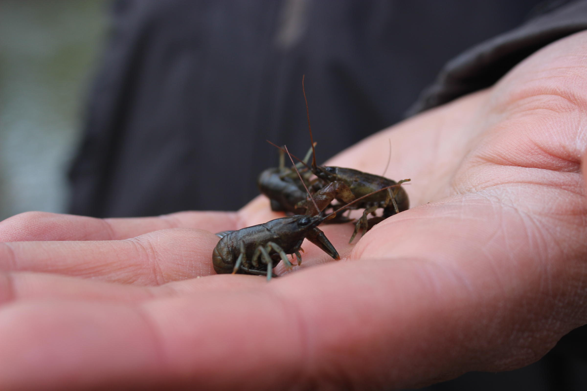 Snacksize Rusty Crayfish (these Ones Are Young  You'd Want Bigger Ones,  Of Course)