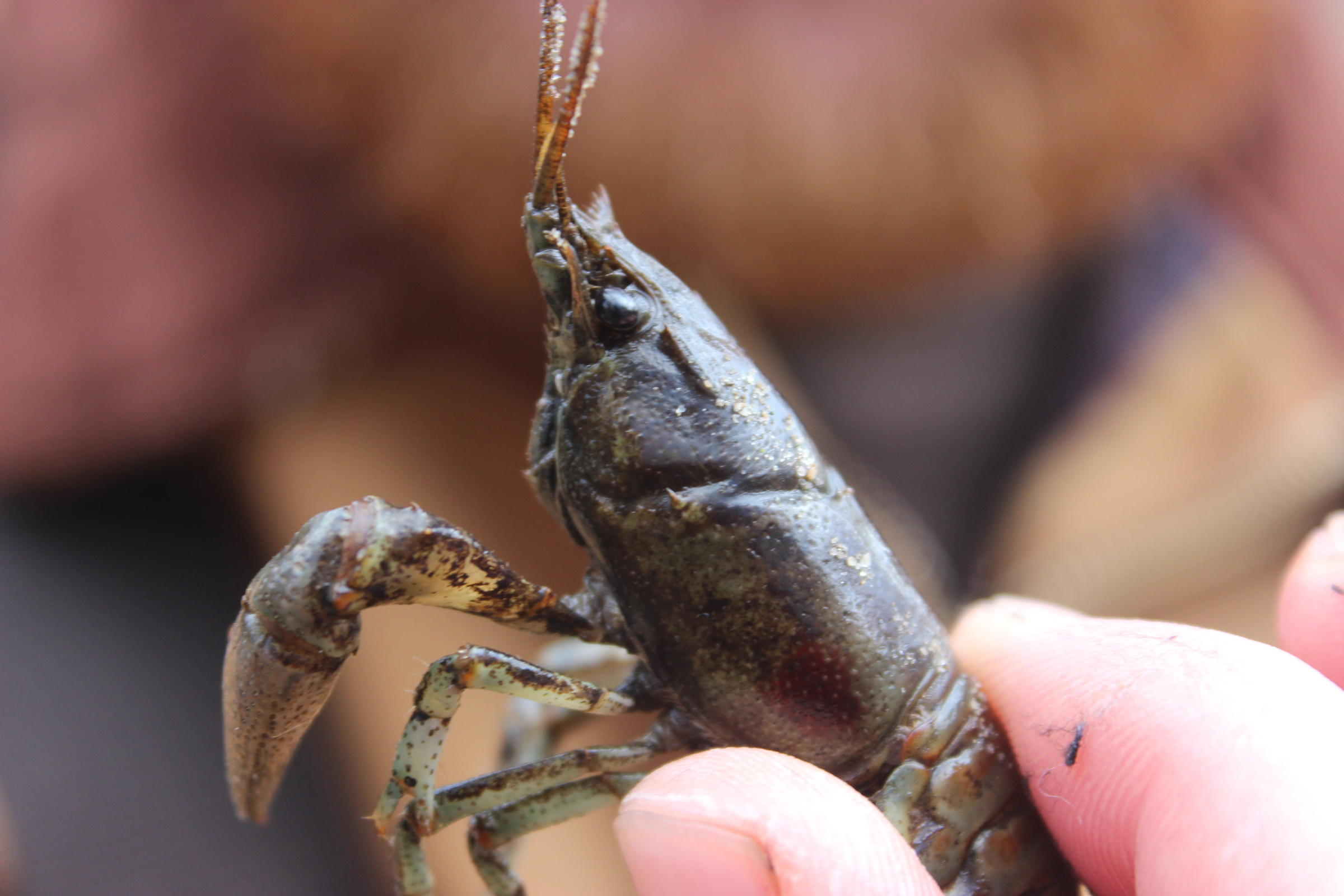 Crawfish étouff�e, Anyone?
