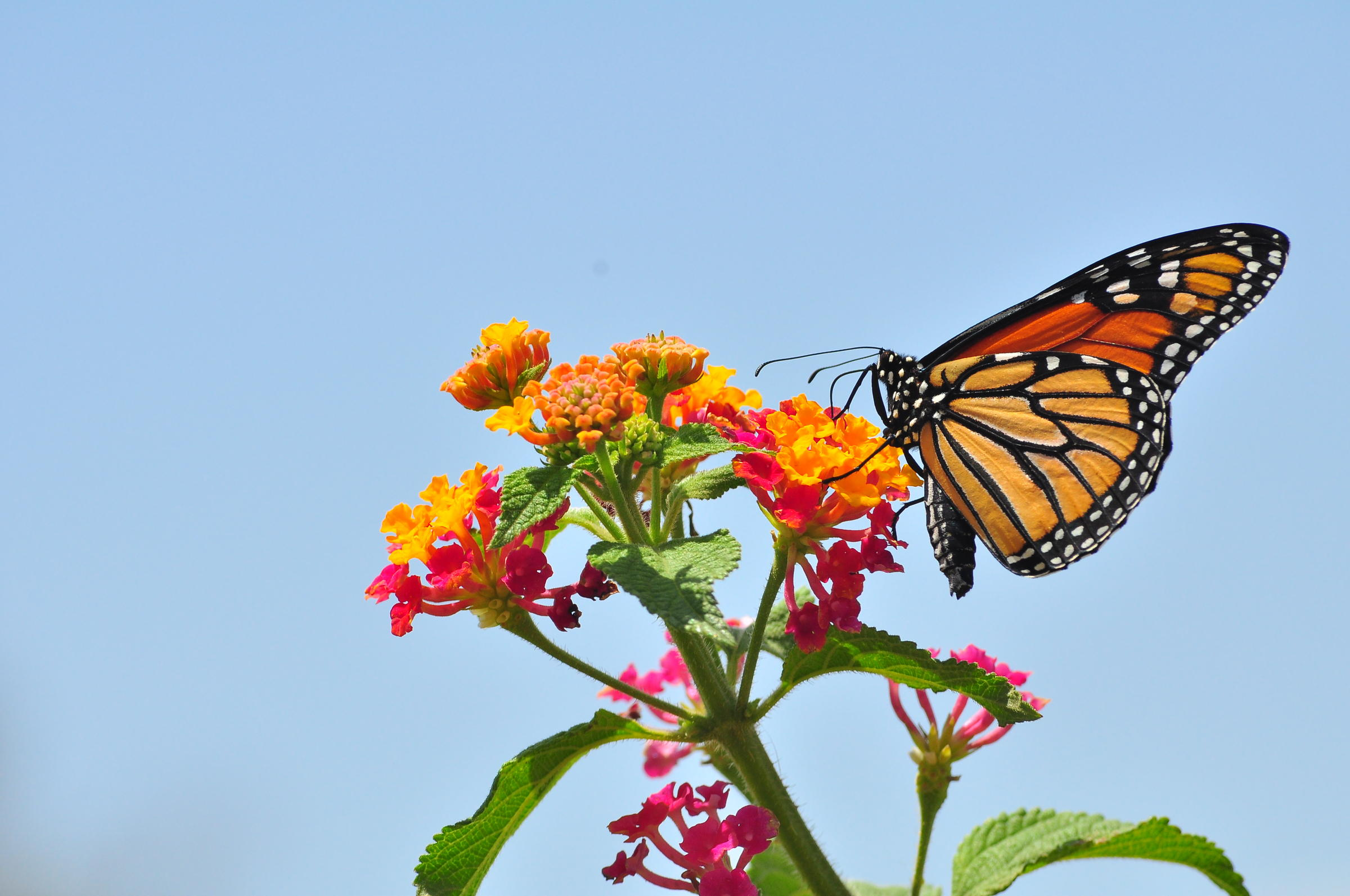 Monarch Butterflies Losing Their Food Source Numbers