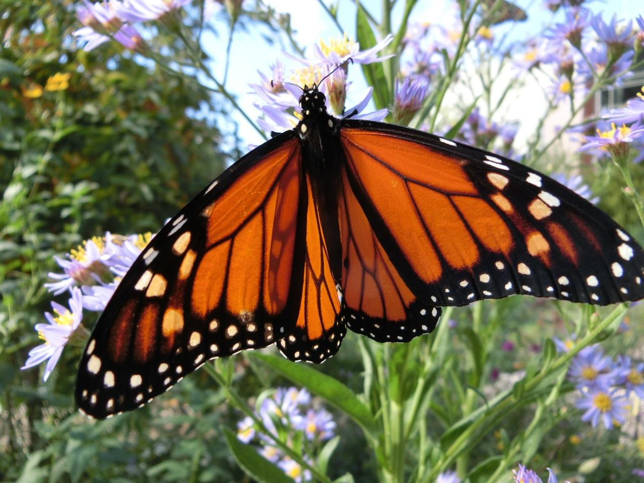 what u0027s driving the drop in monarch butterfly numbers michigan radio