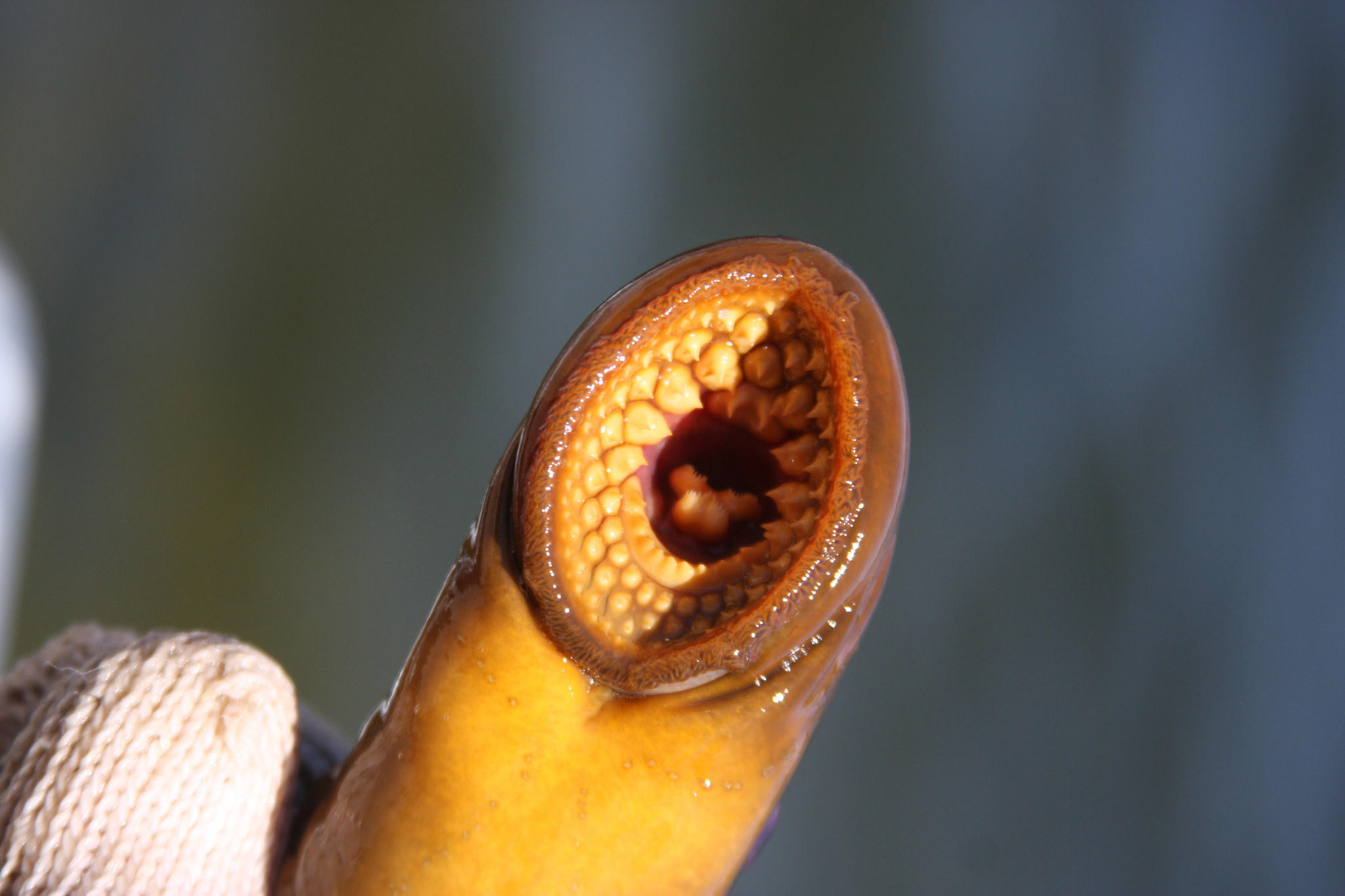 212f08921c6a Scientists hope to track sea lampreys by their DNA