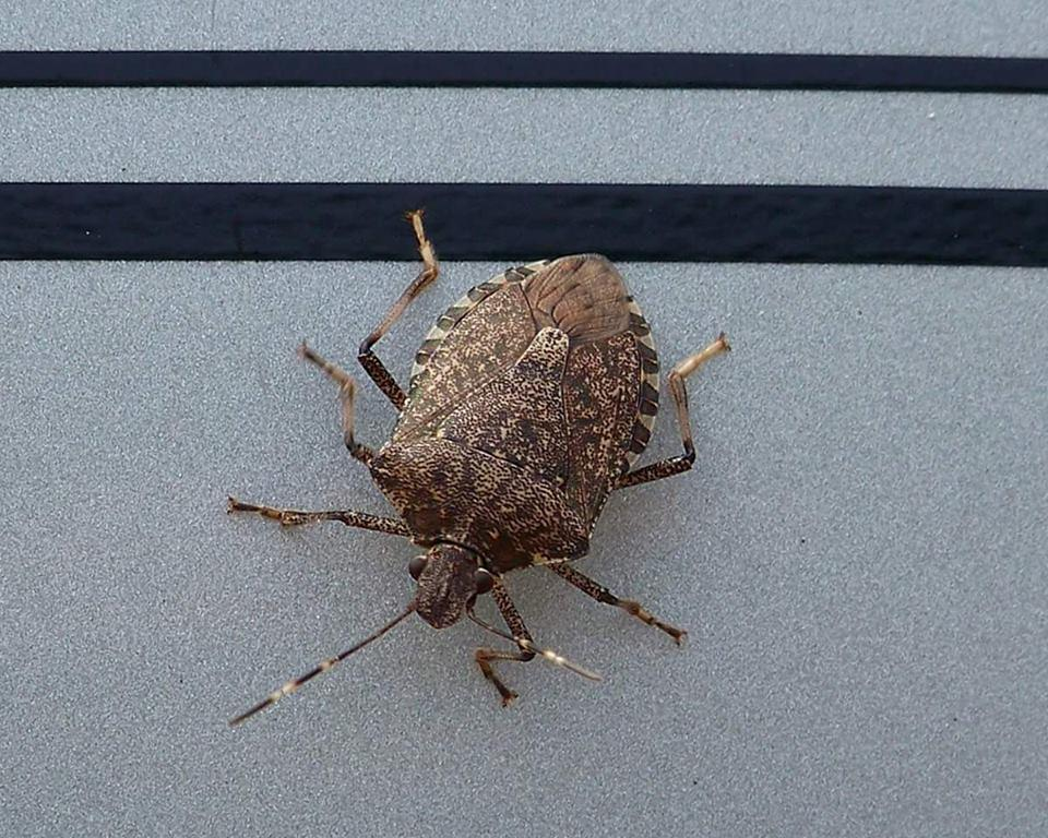 brown marmorated stink bug Visual guide to adult stink bugs how to differentiate brown marmorated stink bug from other stink bugs found in pacific northwest orchards and surrounding areas.