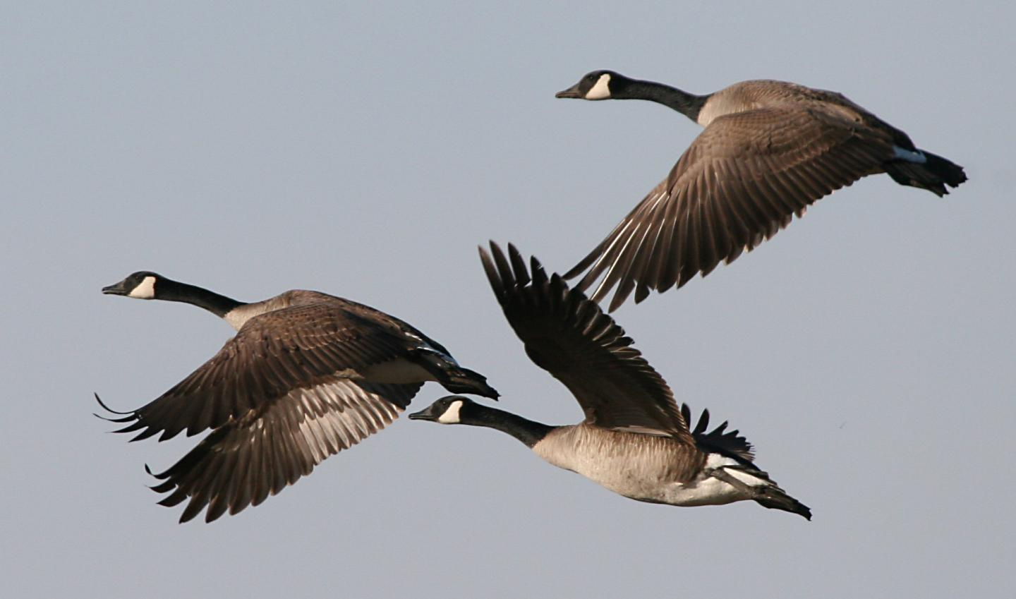 why canada geese like to spend the winter in northern cities