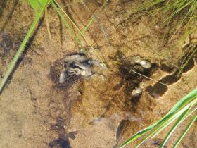 Wood frog tadpoles affected by ranavirus.
