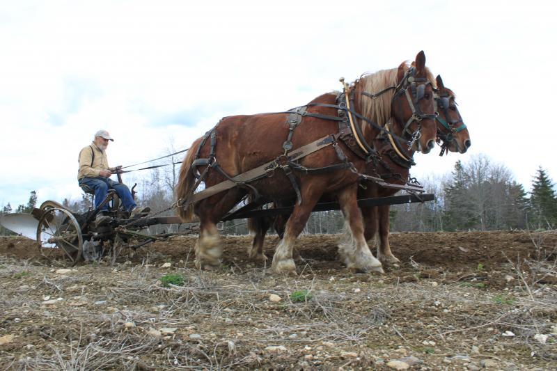 Paul Birdsall drives his Suffolk Punch draught horses Saturday, May 3, 2014.