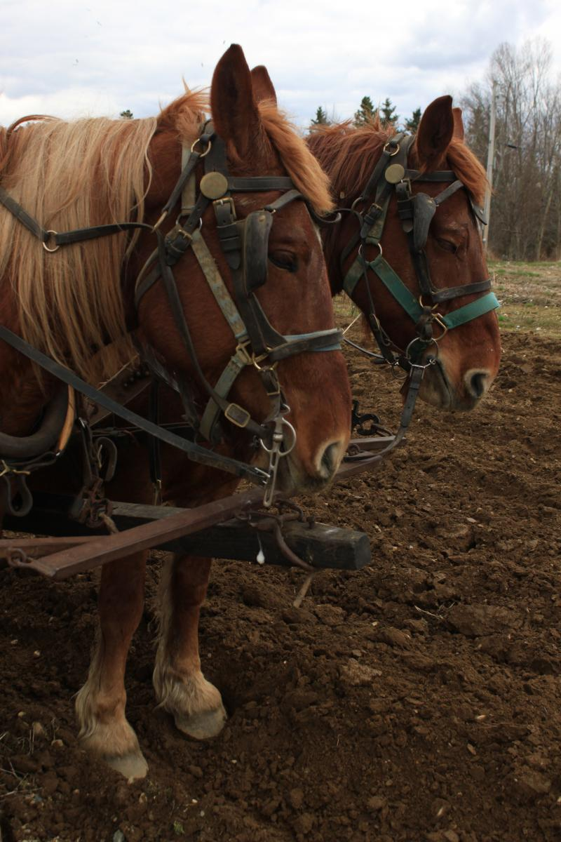 Suffolk Punch draught horses.