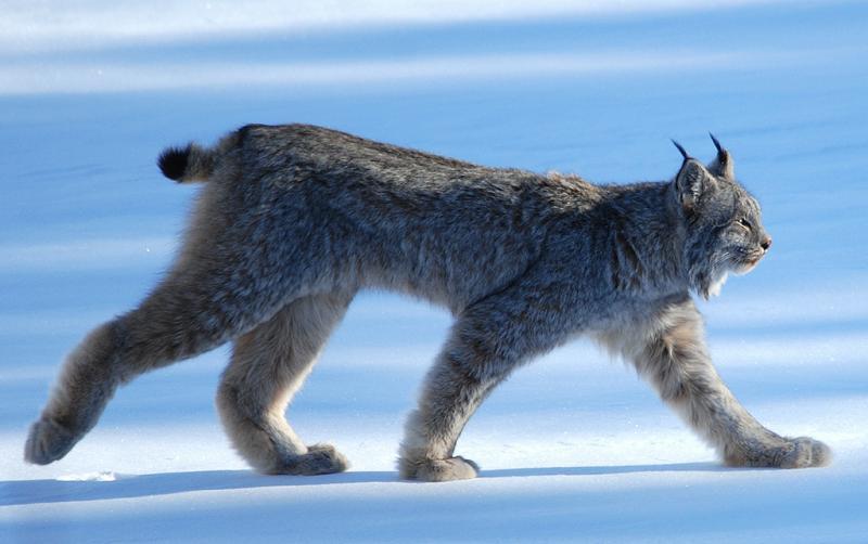 A Canada lynx.