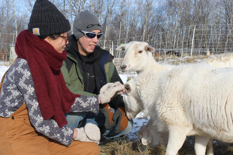 Marya Gelvosa and Josh Gerritsen raise Katahdin sheep and Highland cattle in their farm in Lincolnville.