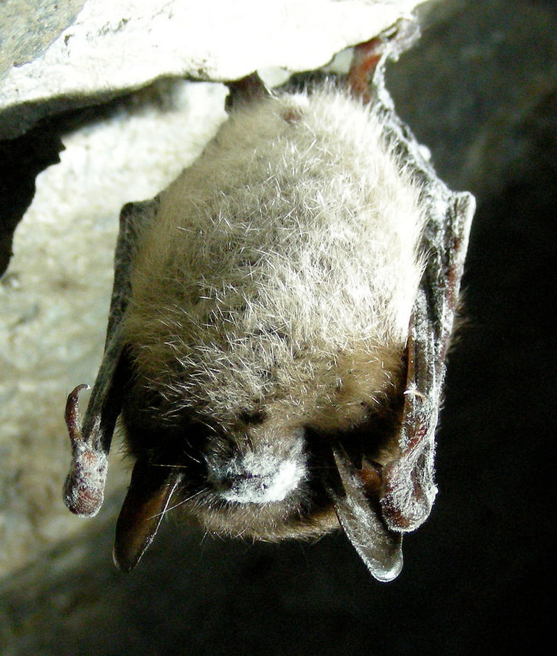 A little brown bat with white nose syndrome in a Vermont cave.