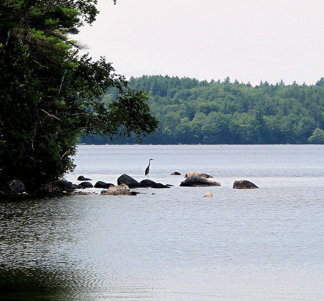 A great blue heron on Sebago Lake.