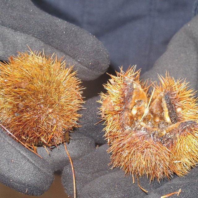 Close Up of Chestnut Tree Burrs
