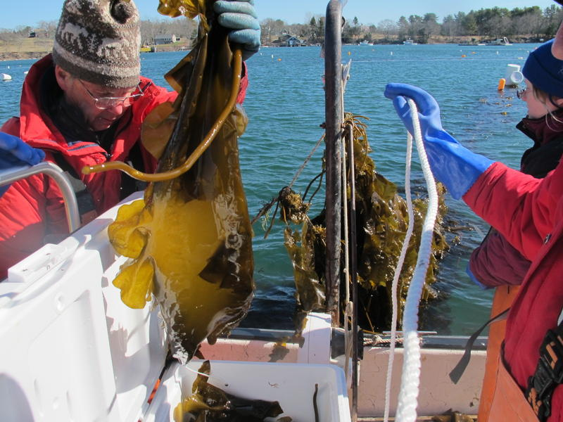 Seth Barker harvests kelp grown in the Damariscotta River estuary by the startup aquaculture company he co-owns, Maine Fresh Sea Farms.